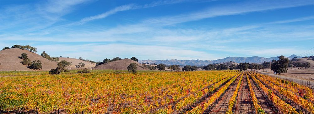 Golden Vineyards Near Santa Ynez