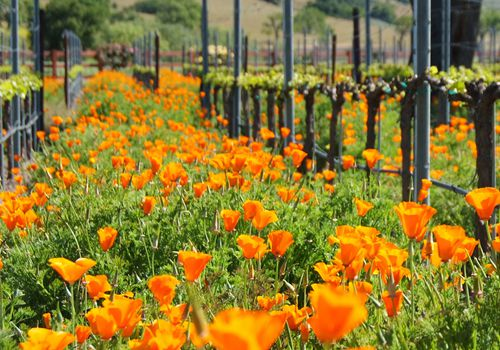 Vineyards with a Touch of Orange
